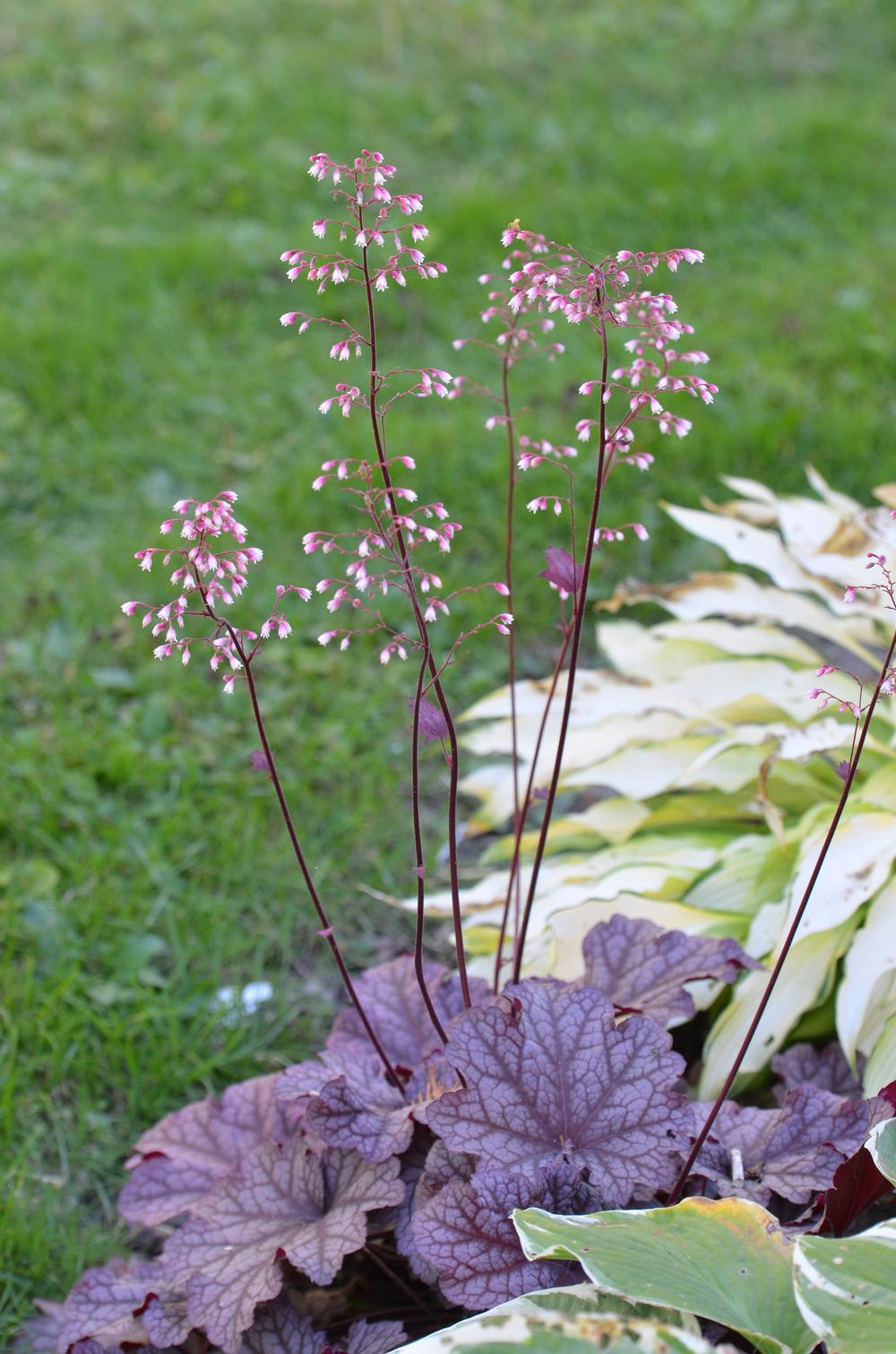 Photo of Coral Bells (Heuchera 'Berry Smoothie') uploaded by Anne