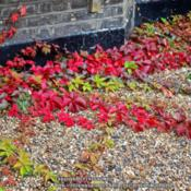 Location: London, England!Date: 2014-09-29Gorgeous ground cover!