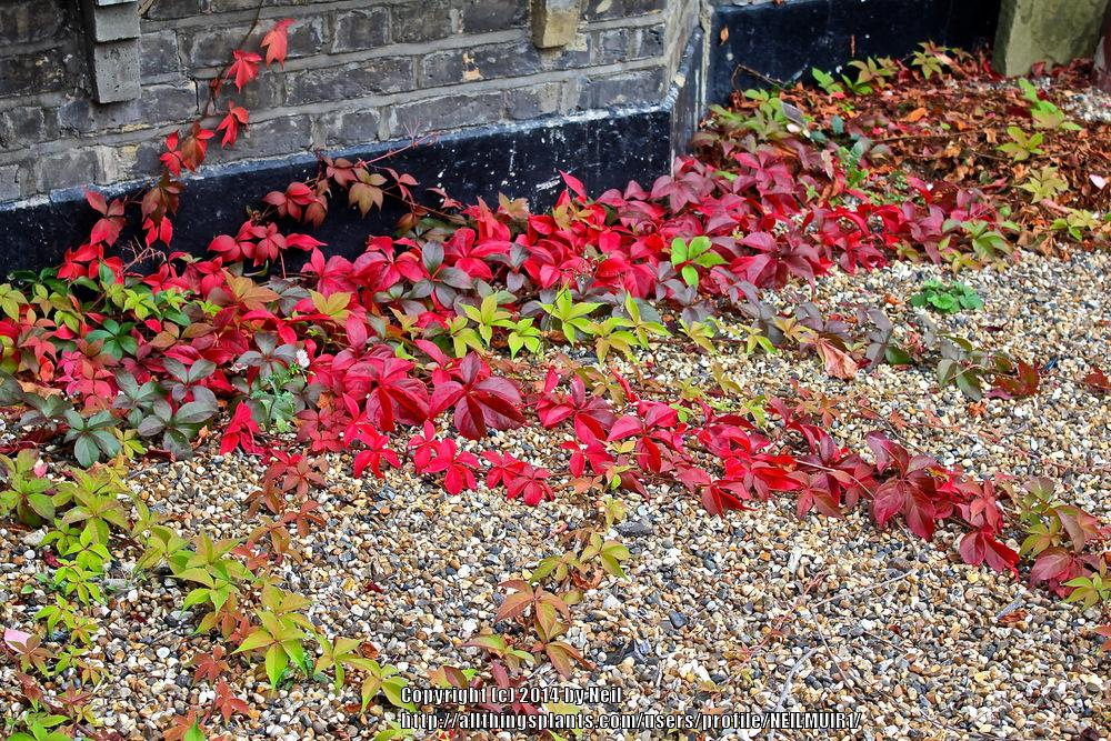 Photo of Virginia Creeper (Parthenocissus quinquefolia) uploaded by NEILMUIR1