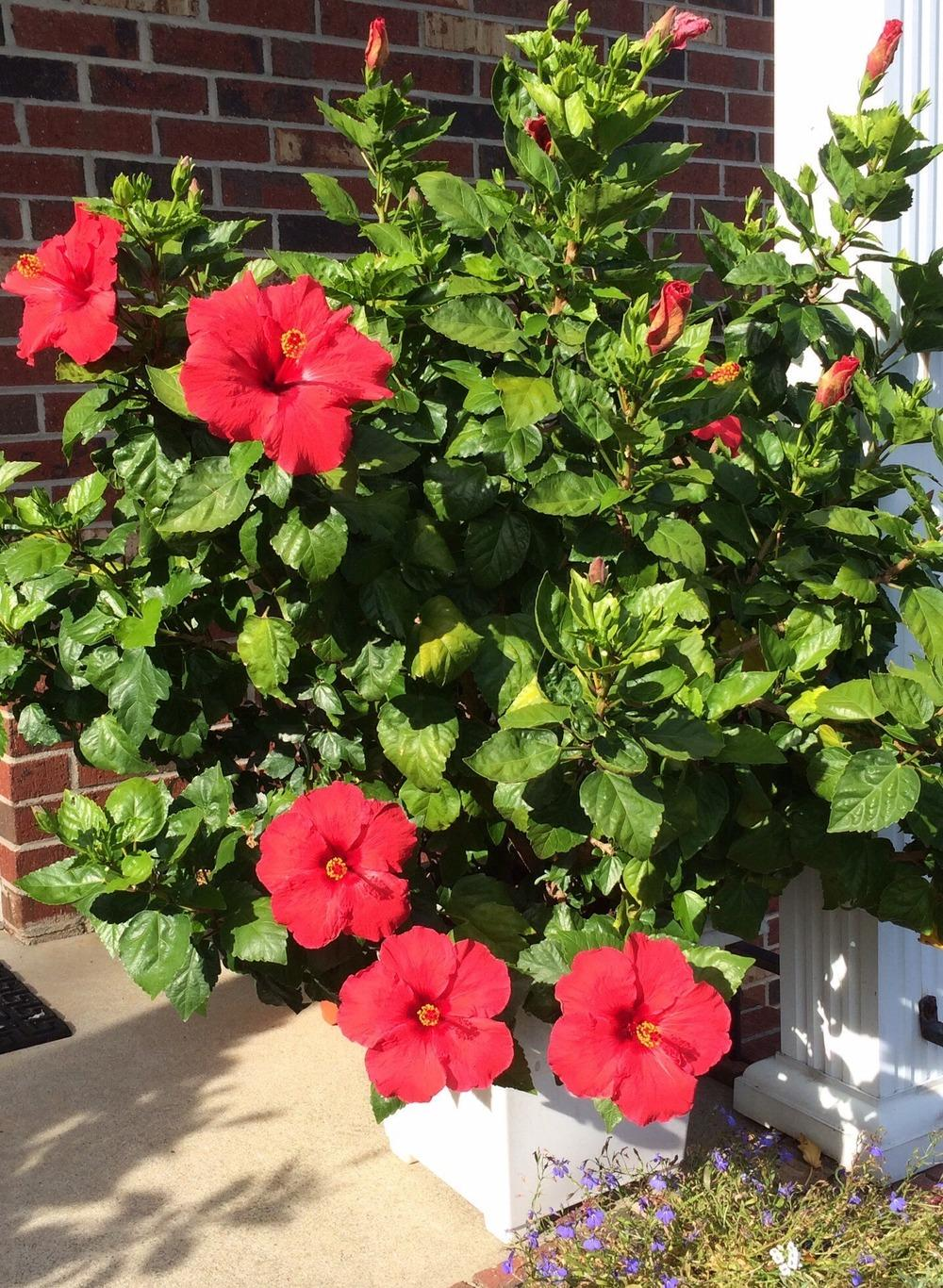 Photo Of The Entire Plant Of Tropical Hibiscus Hibiscus Rosa