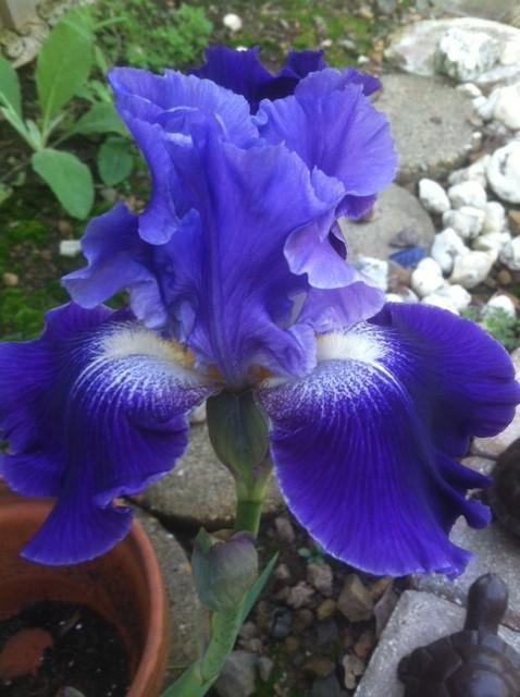 Photo of Tall Bearded Iris (Iris 'Daughter of Stars') uploaded by grannysgarden