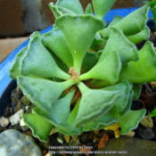 Location: At our garden - San Joaquin County, CADate: 2014-09-28New leaves in the center forming this Fall 2014 for Adromischus c