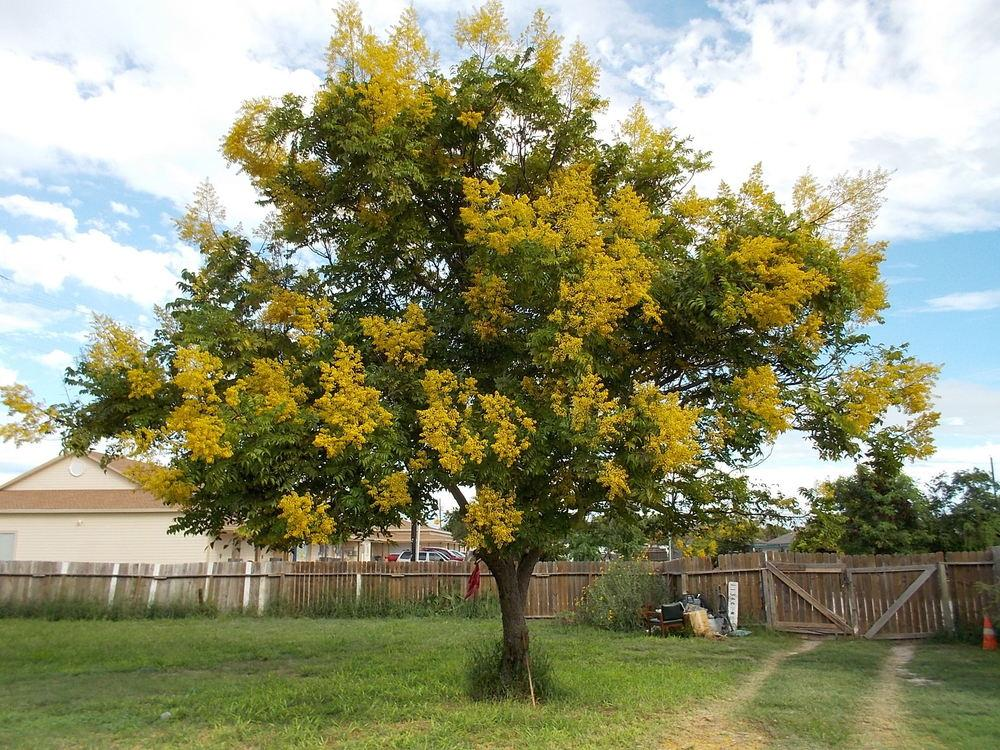 how to grow golden rain tree from seed