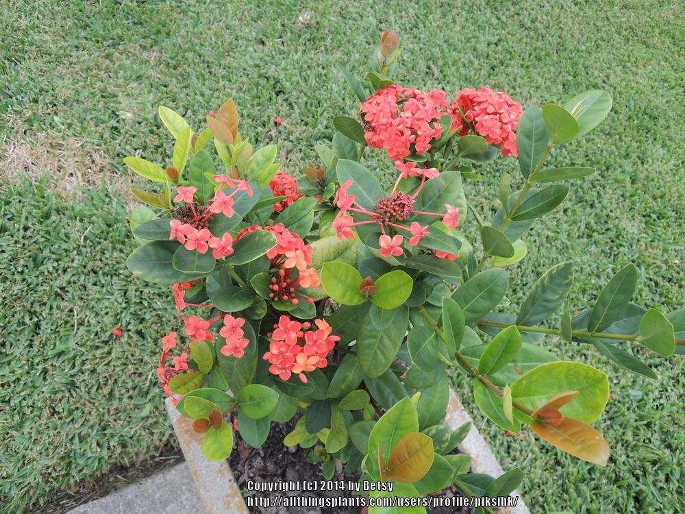 Photo of Flame of the Woods (Ixora coccinea) uploaded by piksihk