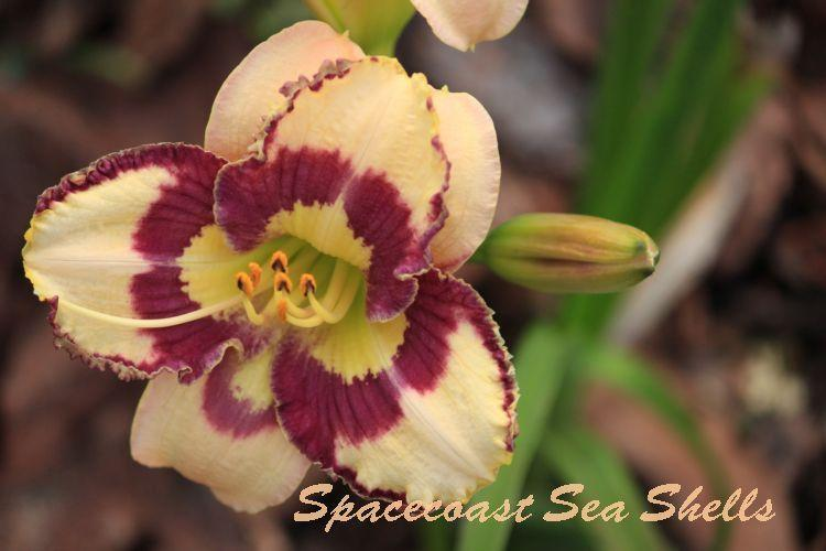 Photo of Daylily (Hemerocallis 'Spacecoast Sea Shells') uploaded by tommy71