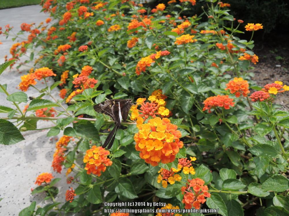 Photo Of The Entire Plant Of Texas Lantana Lantana Horrida Posted