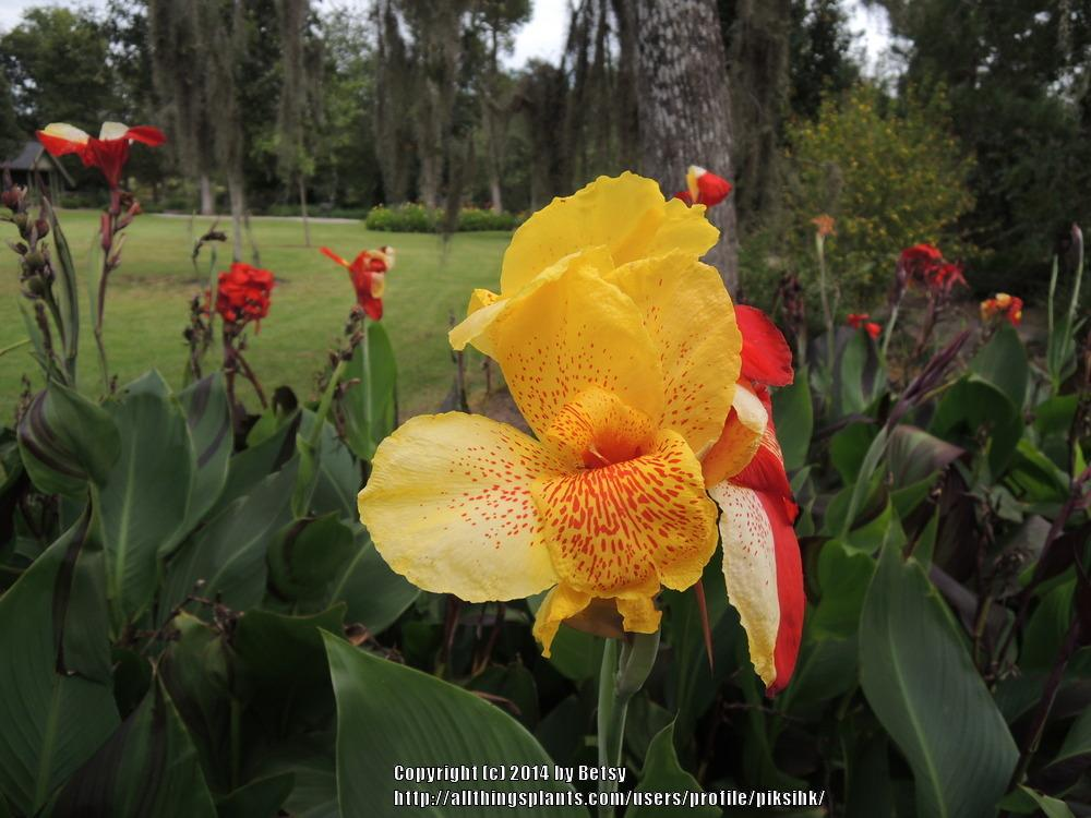 Photo of Canna Lily (Canna 'Yellow King Humbert') uploaded by piksihk