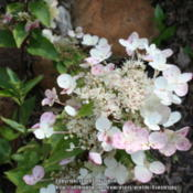 Location: My GardenDate: 2014-08-09This is the spring color of this Hydrangea.