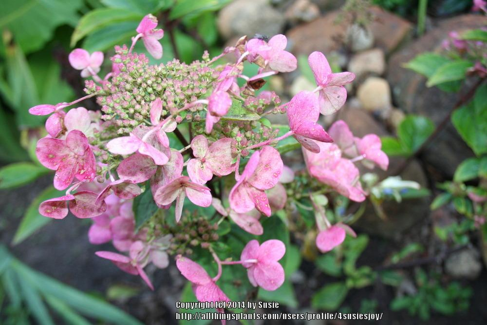 Photo of Panicle Hydrangea (Hydrangea paniculata Fire and Ice™) uploaded by 4susiesjoy