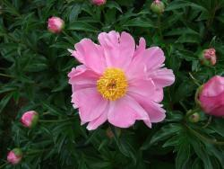 Thumb of 2014-10-03/Oldgardenrose/091335