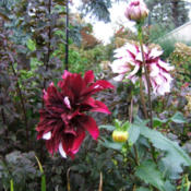 Location: The ParkDate: 2014-10-03An unexpected dark Tartan bloom but still quite welcome