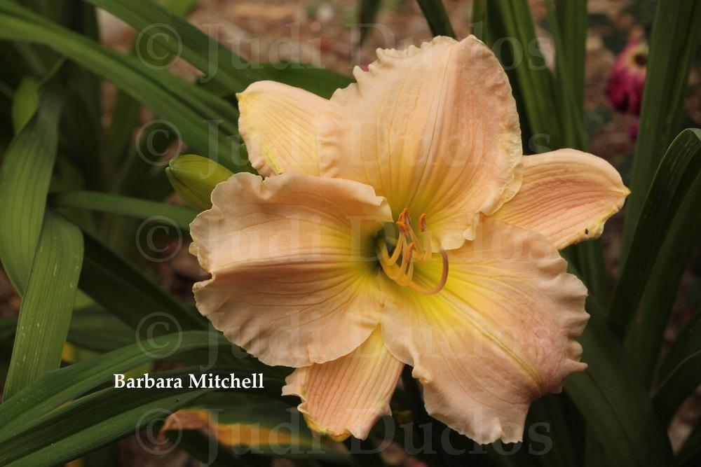 Photo of Daylily (Hemerocallis 'Barbara Mitchell') uploaded by jnduclos
