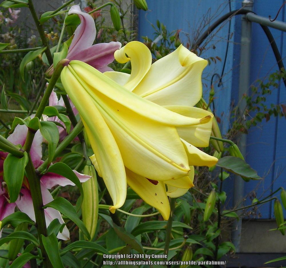 Photo Of The Bloom Of Lily Lilium Moonlight Strain Posted By