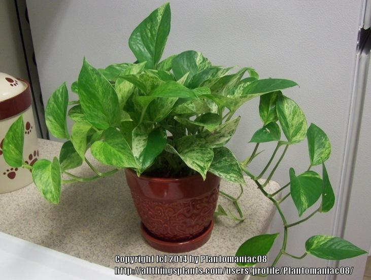 Image result for Golden pothos (Epipremnum aureum)