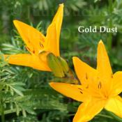 Location: Saratoga Springs NYDate: 2014-05-31Gold Dust