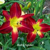 Location: Saratoga Springs NYDate: 2014-07-26Ruby Spider