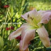 Location: Saratoga Springs NYDate: 2014-07-09Mimosa Umbrella