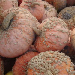 Grow Pumpkins and Other Winter Squash!