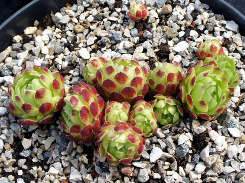 Photo of Hen and Chicks (Sempervivum 'Hodi's Ampel') uploaded by Zaubergarten