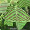 The common name of Butterfly Plant, because the leaf resembles th