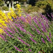 Location: Hamilton Square Perennial Garden, Historic City Cemetery, Sacramento CA.Date: 2014-10-06 The specific epithet comes from the Latin words 'leuco