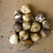 Location: My garden in KentuckyDate: 2014-10-11While digging in tulip bed to plant new tulip bulbs, I dug up the