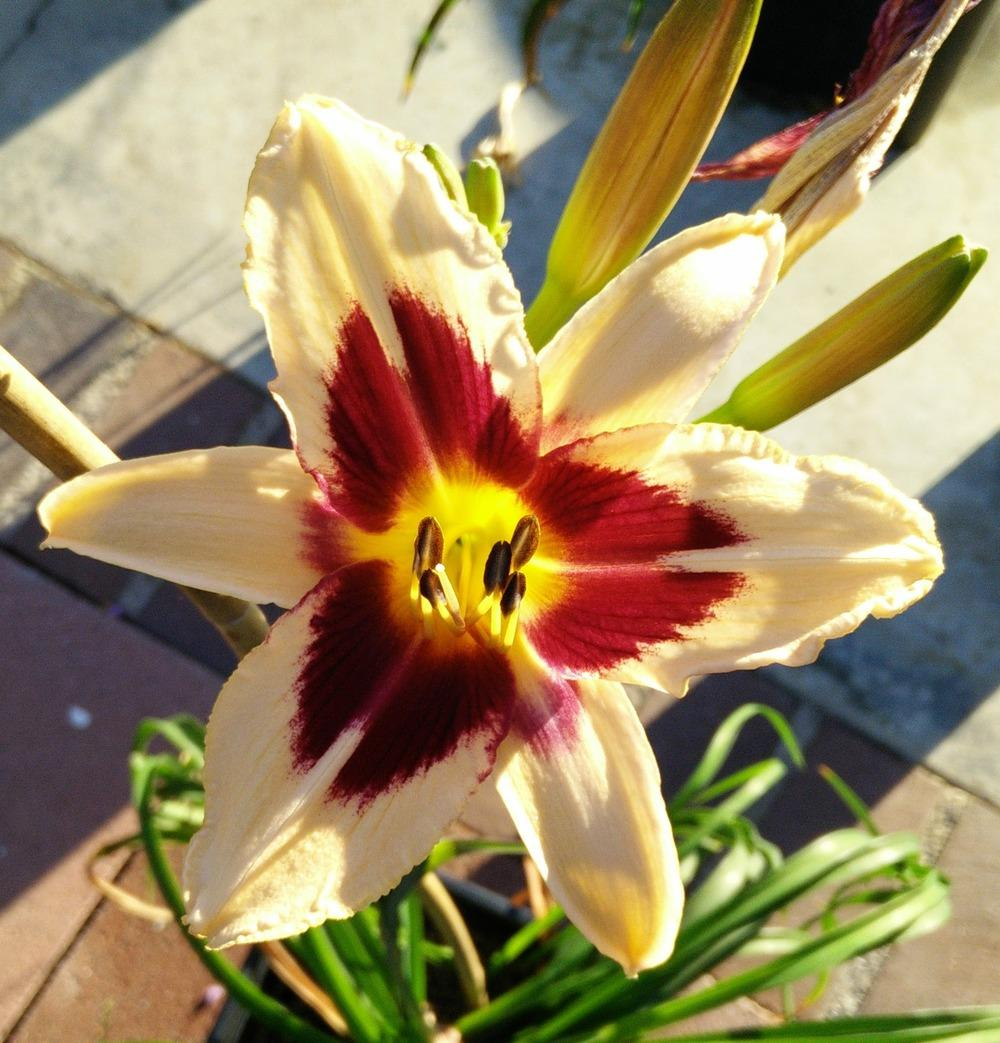 Photo of Daylily (Hemerocallis 'Egyptian Queen') uploaded by Muata