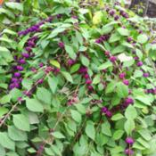 Location: murchison, txDate: 2014-10-11 American Beautyberry