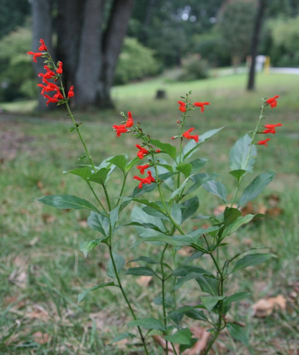 Photo of Belize Sage (Salvia pansamalensis) uploaded by Danita