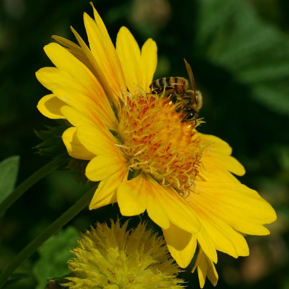 Blanket flowers plant care and collection of varieties garden add or edit informational text about this plant izmirmasajfo