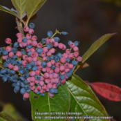 Location: My garden in N E Pa. Date: 2014-10-10Green fruit turns pink then blue and finally black.