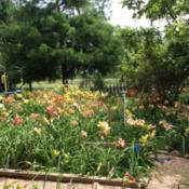 Location: Jones OK,Date: June 2014My daylily garden in full bloom.