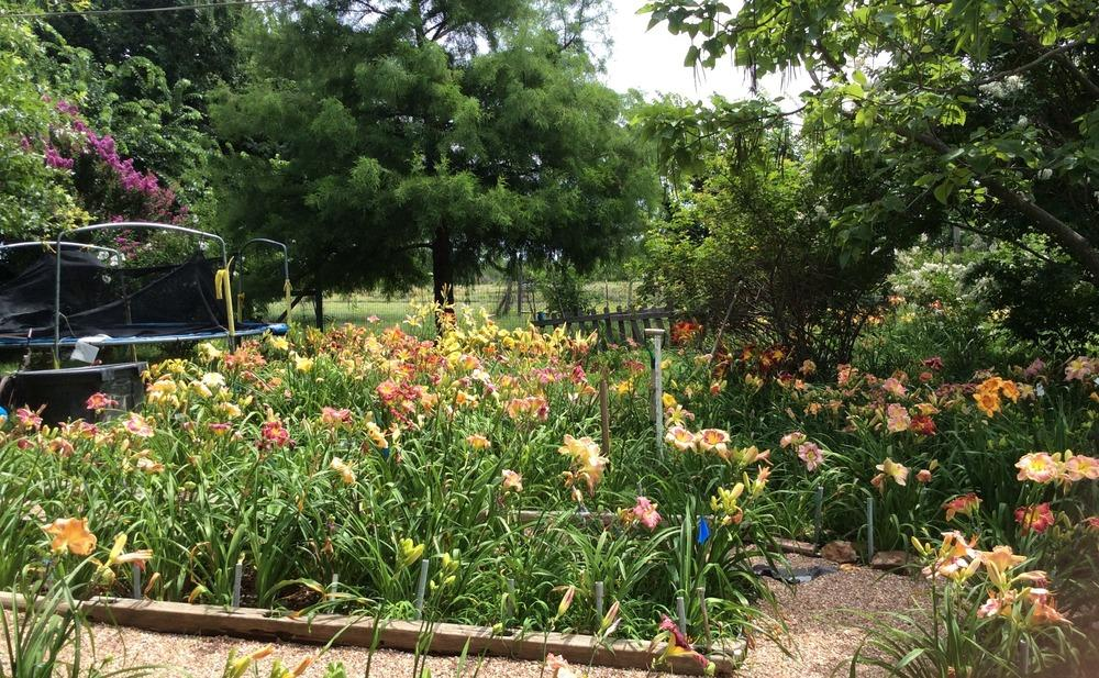 Photo of Daylilies (Hemerocallis) uploaded by kidfishing