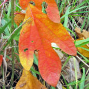 Location: Miami County, IndianaDate: October 14, 2014A Single Leaf