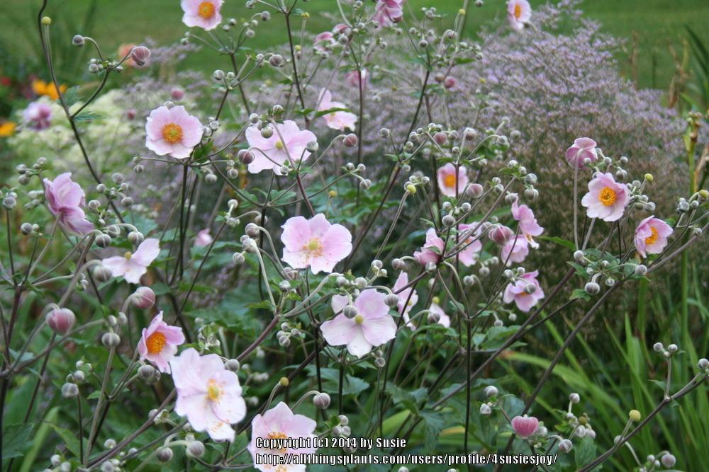 Photo of Japanese Anemone (Eriocapitella hybrida 'Robustissima') uploaded by 4susiesjoy