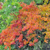 Location: Fulton Country, IndianaDate: October 14, 2014A Young Tree With Brilliant Foliage