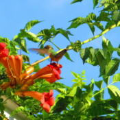 Location: central IllinoisDate: 2013-08-31Why it's referred to as the Hummingbird Vine