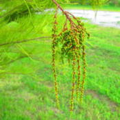 Location: central IllinoisDate: 2012-09-13catkins - elongated cluster of single-sex flowers