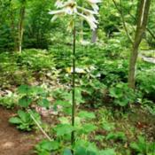 Location: Chanticleer gardens PADate: 2014-06Giant Lily in Asian woods