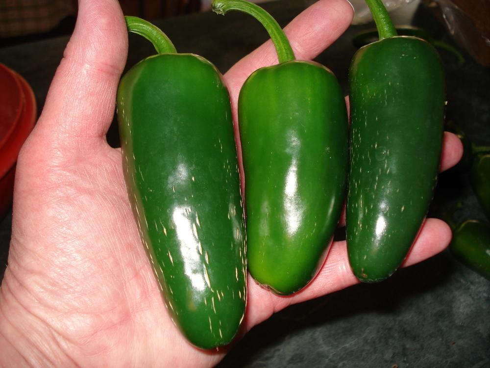 Photo of Jalapeno Pepper (Capsicum annuum 'Goliath') uploaded by Weedwhacker