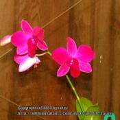 Location: At our garden - San Joaquin County, CADate: 2014-10-17 - Fall SeasonHot Pink blooms from a noid Dendrobium phalaenopsis