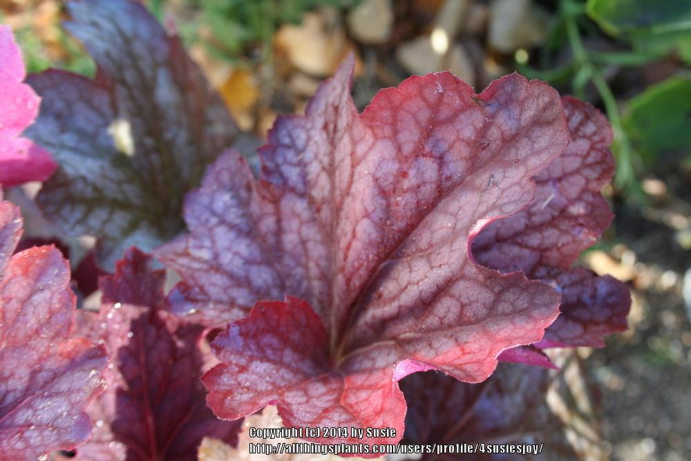 Photo of Coral Bells (Heuchera 'Carnival Watermelon') uploaded by 4susiesjoy