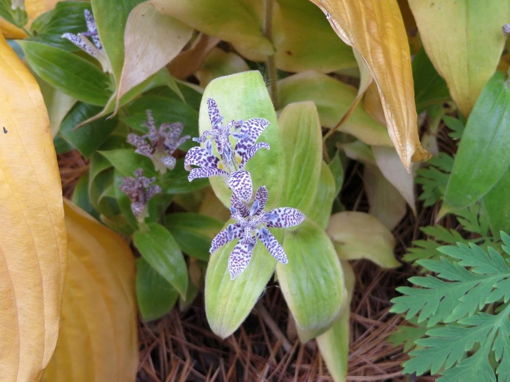 Photo of Toad Lily (Tricyrtis hirta 'Blue Wonder') uploaded by foraygardengirl