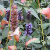 Location: West borderDate: OctoberThree full months of bloom from this wonderful agastache!