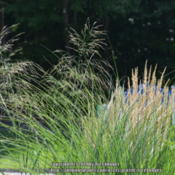 Location: My garden in N E Pa. Date: 2014-09-03Light airy seed heads form after flowering.