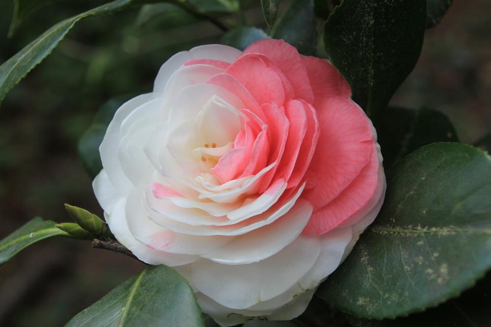Photo of Camellias (Camellia) uploaded by memtraylor