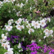 Photo courtesy of Annie's Annuals and Perennials