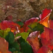 Location: My Garden, UtahDate: 2014-10-26Fall color and scalloped by bugs
