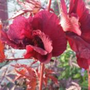 Location: Indian Harbour Beach, FloridaDate: 2014-10-25This hibiscus plant has grown to over 5 feet.  The leav