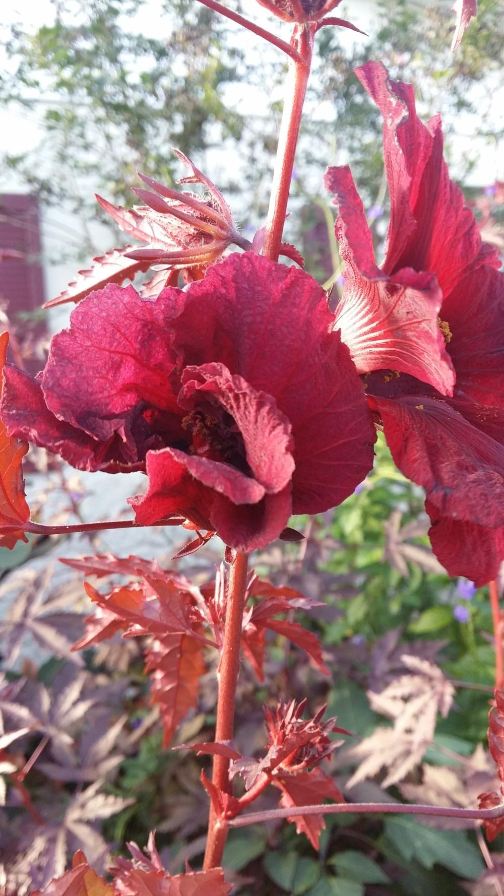 Photo Of The Bloom Of Red Leaf Hibiscus Hibiscus Acetosella Posted
